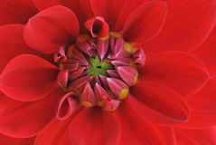 Red Dahlia. Close-up of a colorful red dahlia showing its patterns, details, and vibrant colors Royalty Free Stock Photography