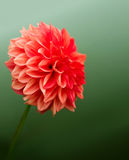 Red dahlia Royalty Free Stock Image