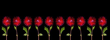 Red dahlia. S with leaves on black background Stock Photo