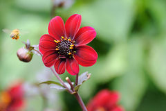 Red Dahlia. Flower in garden, with soft green background stock image