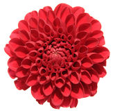 Red dahlia. Isolated on white background Stock Photos