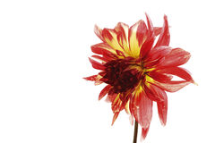 Red Dahlia Royalty Free Stock Photos