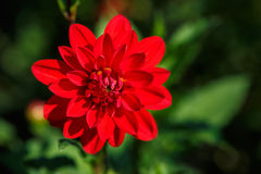 Red Dahlia Asteraceae Flower Royalty Free Stock Photo