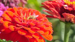Red dahlia and bee stock footage
