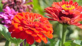 Red dahlia and bee stock video footage