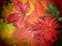Dahlia and autumn leaves Royalty Free Stock Photo