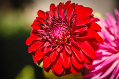 Red Dahlia Bloom Royalty Free Stock Photos