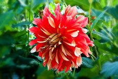 Red dahlia in bloom in a garden. Close-up of flowering dahlia garden royalty free stock image