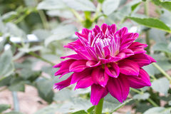 Red dahlia in bloom in a garden. Close-up dahlia in bloom in a Japanese garden near Tokyo Royalty Free Stock Photo