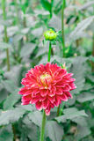Red dahlia in bloom in a garden. Close-up dahlia in bloom in a Japanese garden near Tokyo Stock Photography