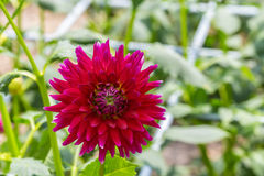 Red dahlia in bloom Royalty Free Stock Images