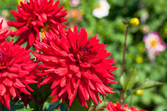 Red dahlia blooms. Macro shot of red dahlia blooms, nature background royalty free stock photos