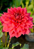 Red dahlia blossom Stock Photography