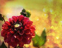 Red dahlia blosson in the sunlight Stock Photo