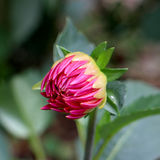 Red dahlia bud and green leafs. Royalty Free Stock Photography