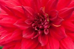 Red dahlia. Close up of a red dahlia flower stock image