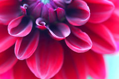 Red dahlia close up Stock Photography