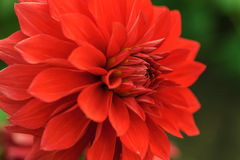 Red dahlia close-up Royalty Free Stock Images