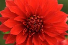 Red dahlia close-up Royalty Free Stock Photos