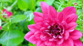 Red dahlia closeup from the top. stock footage