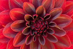 Red Dahlia and Dew Stock Images