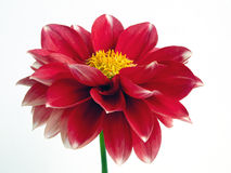 Red dahlia flower. Close-up of a red flower of dalia Royalty Free Stock Images