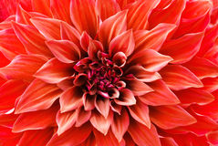 Red Dahlia flower Stock Image