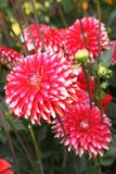 Red dahlia flower. Stock Images