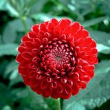 Red dahlia flower, Beautiful bouquet or decoration from the gard Stock Images