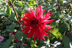 Red dahlia flower. In beautiful garden Stock Photos