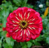 Red Dahlia Flower. Royalty Free Stock Photo