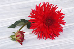 Red dahlia flower with a bud on a wooden Royalty Free Stock Images