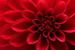 Red dahlia flower. Closeup on red dahlia flower Royalty Free Stock Image