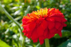 Red dahlia flower, closeup view. Flower of red dahlia in the garden royalty free stock photo