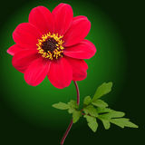 Red dahlia flower. On an dark green background Stock Images