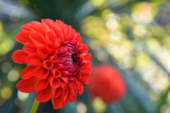 Red Dahlia flower stock photo