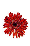 Red dahlia flower head watercolor Stock Photo