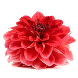 Red Dahlia Flower Isolated on White Background Stock Image