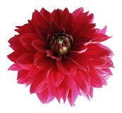 Red dahlia flower isolated on white background with clipping path.  Closeup no shadows. Stock Photos