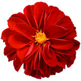 Red dahlia flower isolated on white background. Royalty Free Stock Photos