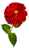 Red dahlia flower isolated on white background. Stock Photo