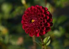 Red Dahlia flower macro Asteraceae stock images