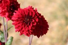 Red Dahlia flower Stock Photo