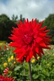 Red dahlia flower, Beautiful bouquet or decoration from the gard Royalty Free Stock Photos