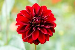 Red dahlia flower, Beautiful bouquet or decoration from the gard Stock Photo