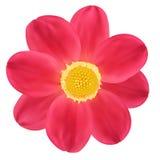 Red Dahlia Flower. Vector illustration Royalty Free Stock Photos