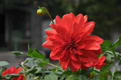 Red Dahlia flower. A Red Dahlia Flower was in full bloom under the sunshine Royalty Free Stock Photography