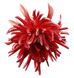 Red dahlia flower on white isolated background with clipping path no shadows. Closeup. Nature royalty free stock photos