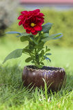 Red dahlia flower in wooden pot Stock Images