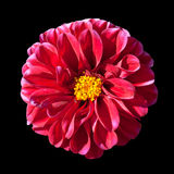 Red Dahlia Flower with Yellow Center Isolated Royalty Free Stock Image